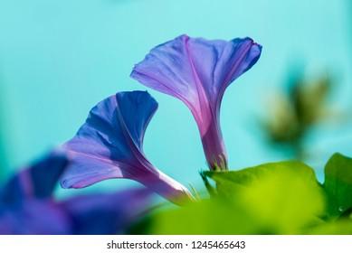 Bindweed Blaue Mauritius - Latin name - Convolvulus sabatius Blaue Mauritius