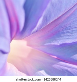Bindweed Blaue Mauritius. Macro photography. Soft focus. - Image