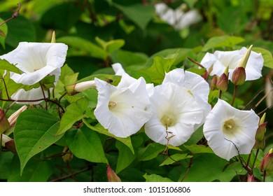 Bindweed (Convolvulus arvensis)