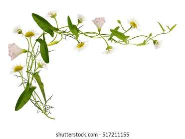 Bindweed and daisy flowers and leaves isolated on white