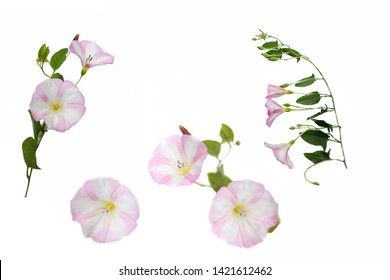 bindweed. details of pink convolvulus flower with leaves isolated on white background