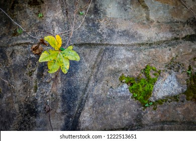 bindweed flower and bindweed leave on the stone wall