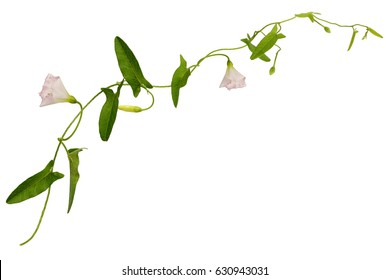 Bindweed flowers and leaves sprig isolated on white