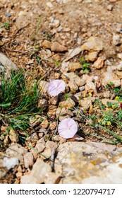 bindweed growing in the rocks