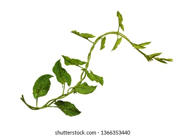 Bindweed sprigs with green leaves isolated on white