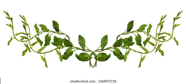 Bindweed sprigs with green leaves in a line arrangement isolated on white background