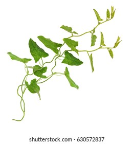 Bindweed sprigs with leaves isolated on white