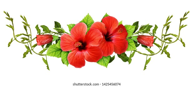 Bindweed sprigs and red hibiscus flowers with green leaves in a line arrangement isolated on white background