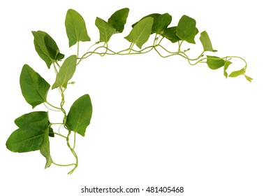 Bindweed twig with green leaves isolated on white