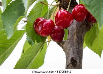 Bing cherry fruit tree