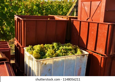 Bins with white grapes during harvesting. Some wineries still prefer the use of human workers to hand-pick grapes and thus ensure the best possible quality and gentler handling of grapes.