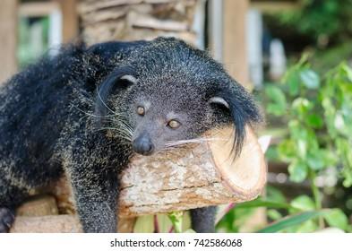 Bintaroung or bearcat, wild animal of Southeast Asia