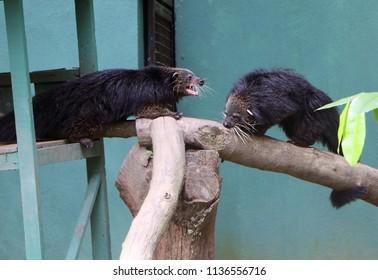 Binturong (Arctictis binturong), also known as bearcat.