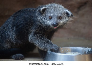 Binturong (Arctictis binturong), also known as the bearcat. Wildlife animal.