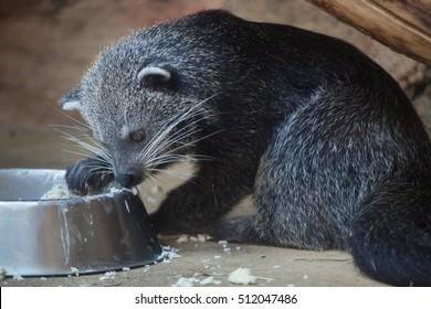 Binturong (Arctictis binturong), also known as the bearcat. Wildlife animal.