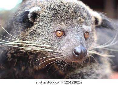 BINTURONG, Bear cat from Borneo