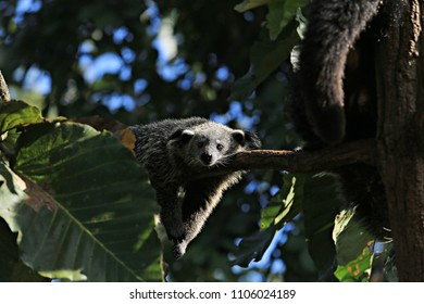 Binturong or bear Cat sleeping on tree in wildlife sanctuary lumnampai Mae Hong Son Thailand