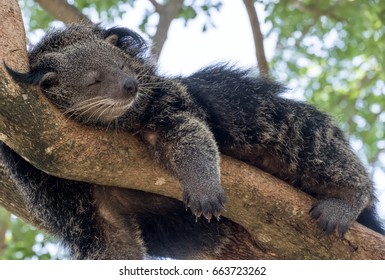 Binturong or bear cat  sleeping on the tree