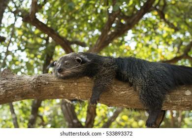Binturong, Bearcat