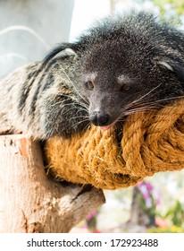 Binturong, Bearcat or Arctictis binturong