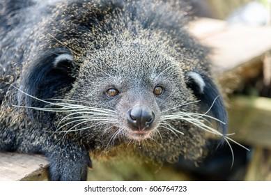 Binturong, Bearcat, Arctictis binturong, Closeup picture of the binturong on branchCloseup picture of the binturong on branch