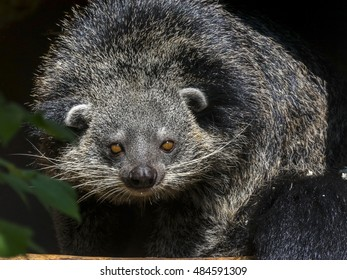 Binturong or bearcat (Arctictis binturong) on a tree
