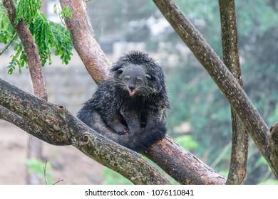 Binturong or bearcat (Arctictis binturong). Binturong is widespread in south and southeast Asia occurring in Bangladesh, Bhutan, Myanmar, China india and indonesia.