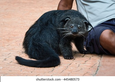 Binturong or bearcat (Arctictis binturong). The binturong is widespread in south and southeast Asia occurring in Bangladesh, Bhutan, Myanmar, China india and indonesia