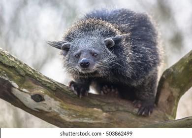 Binturong or bearcat (Arctictis binturong). Binturong is widespread in south and southeast Asia occurring in Bangladesh, Bhutan, Myanmar, China india and indonesia