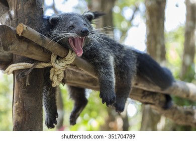 Binturong, Bearcat, Arctictis binturong yawn on tree