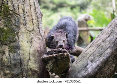 Binturong or bearcat (Arctictis binturong) in zoo. The binturong is widespread in south and southeast Asia occurring in Bangladesh, Bhutan, Myanmar, China india and indonesia