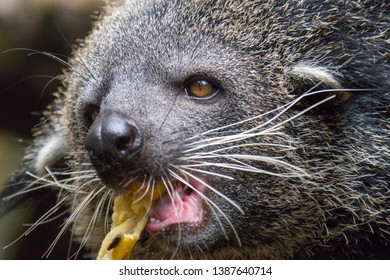 Binturong or bearcat  head closeup March 18th 2019