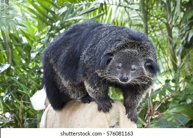 Binturong (Bearcat) - huge furry animal with black fur like a bear and a muzzle like a cat or a raccoon.