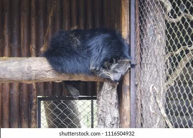 Binturong, Bearcat is lie on timber, Arctictis binturong, Viverridae.