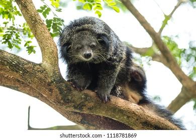 binturong bearcat on the tree