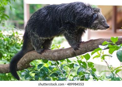 Binturong or Bearcat on tree branch
