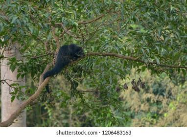 Binturong, Bearcat on the tree  in nature.
