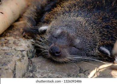 binturong, bearcat is sleeping.