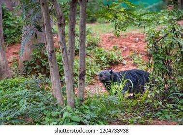 Binturong or Bearcat; in the Zoo