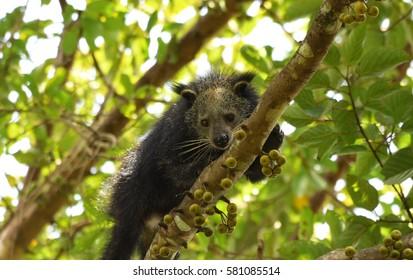 Binturong black bear on tree in Khao Yai National Park Thailand