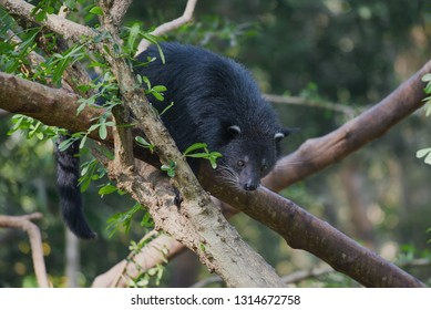 Binturong (cat bear) on the branches of a tree on a sunny day
