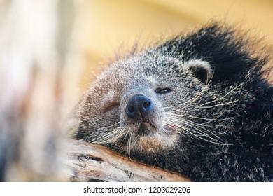 Binturong / Close up the bearcat or arctictis binturong lying sleeping relax on the wooden log summer day time
