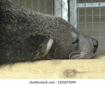 Binturong having a sleep