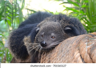 Binturong also known as bearcat, is a viverrid native to South and Southeast Asia.