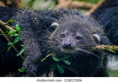 binturong lay on the tree with dramatic tone