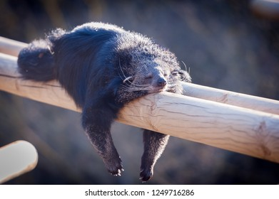 Binturong lying on a beam