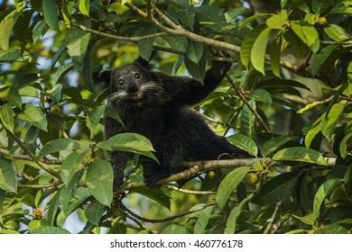 Binturong  male eating fruits in the nature.