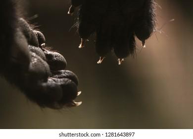 Binturong nails are still visible while sleeping