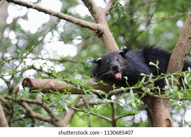 Binturong on the branch of tree in zoo, cute Asian animal background, conservation concept