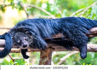 Binturong on the tree, Thailand.